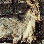 Винторогий козёл  150x150 - Другие животные