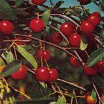 Вишня 150x150 - Различные растения