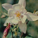 Водосбор  150x150 - Цветы