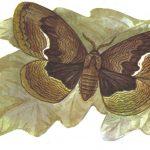 Волнистая павлиноглазка брамея  150x150 - Бабочки