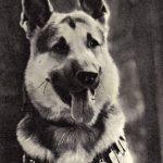 Восточноевропейская овчарка 150x150 - Собаки чёрно-белые