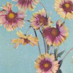 Гайллардия 150x150 - Цветы