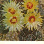 Гаматокактус крючковатоиголковый 150x150 - Цветы