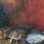 Геофагус и гурами 150x150 - Аквариумные рыбки