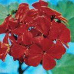 Герань гибридная сорт Метеор 150x150 - Цветы