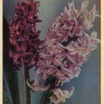 Гиацинты 2 150x150 - Цветы