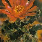 Гимнокалициум Бальда 150x150 - Цветы
