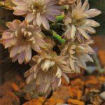 Гимнокалициум Дамса 150x150 - Цветы