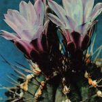 Гимнокалициум Михановича вариант Фридриха 150x150 - Цветы