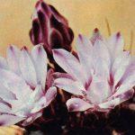 Гимнокалициум Михановича вар.Фридриха 150x150 - Цветы
