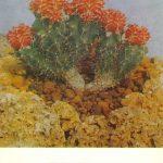 Гимнокалициум Михановича красный 150x150 - Цветы