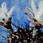 Гимнокалициум Михановича узкорёберный 150x150 - Цветы