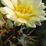 Гимнокалициум горбатый 150x150 - Цветы