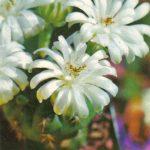 Гимнокалициум многоцветковый 150x150 - Цветы