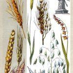 Главные злаки Земли 150x150 - Удивительные растения