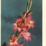 Гладиолус 1 150x150 - Цветы