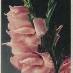 Гладиолус 2 150x150 - Цветы