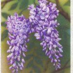 Глициния 150x150 - Цветы