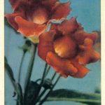Глоксиния 1  150x150 - Цветы