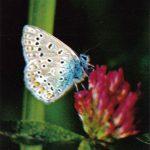 Голубянка Икар  150x150 - Бабочки