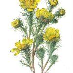 Горицвет весенний 1 150x150 - Цветы