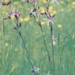 Горицвет кукушкин 150x150 - Цветы