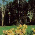 Гортензия метельчатая крупноцветная 150x150 - Цветы