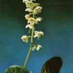 Грушанка круглолистная 150x150 - Цветы