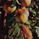 Груша Бере 150x150 - Различные растения