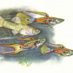 Гуппи Хейнеля 150x150 - Аквариумные рыбки