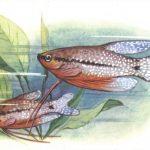 Гурами жемчужный 150x150 - Аквариумные рыбки