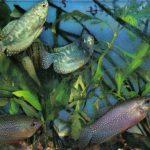 Гурами мраморный 150x150 - Аквариумные рыбки