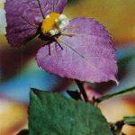 Далешампия Резля 150x150 - Цветы