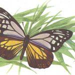 Данаида великолепная  150x150 - Бабочки