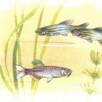 Данио рерио и Данио розовый 150x150 - Аквариумные рыбки