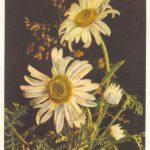 Две ромашки 150x150 - Цветы