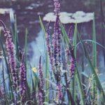 Дербенник иволистный плакун трава 150x150 - Цветы