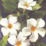Диплодения 150x150 - Цветы