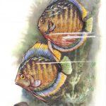 Дискус 150x150 - Аквариумные рыбки
