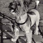 Дитя улицы 150x150 - Собаки чёрно-белые