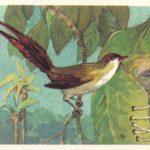 Длиннохвостая портниха 150x150 - Птицы