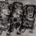 Длинношерстные таксы 150x150 - Собаки чёрно-белые