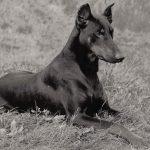 Доберман 150x150 - Собаки чёрно-белые