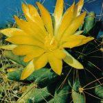 Долихотеле лонгимамма 150x150 - Цветы