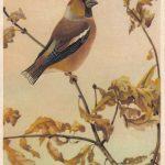 Дубонос 150x150 - Птицы