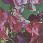 Душистый горошек 2 150x150 - Цветы