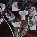 Душистый горошек 3 150x150 - Цветы