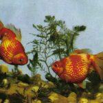Жемчужницы 150x150 - Аквариумные рыбки