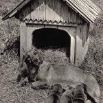 Жесткошерстная такса 150x150 - Собаки чёрно-белые