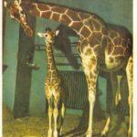 Жирафы 150x150 - Ленинградский Зоопарк